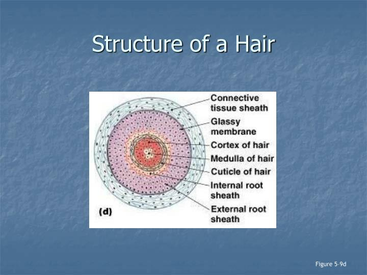 Structure of a Hair