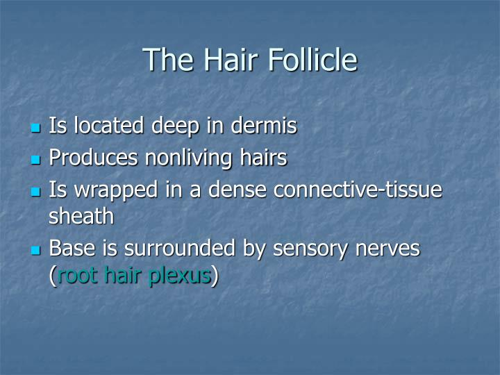 The Hair Follicle