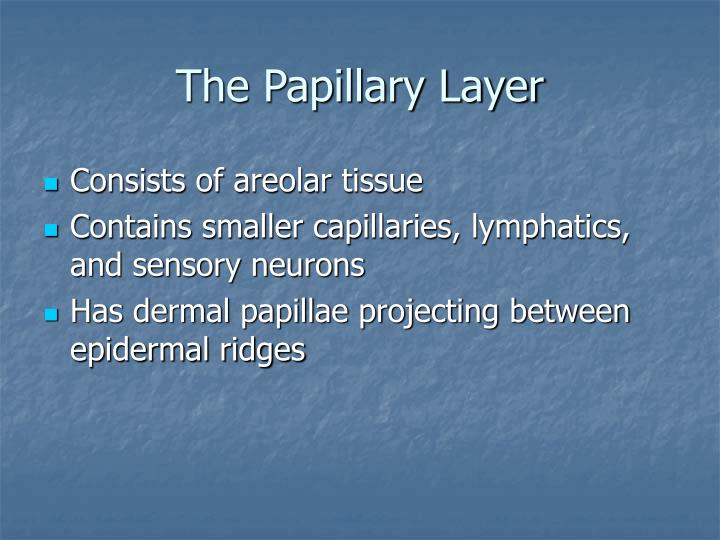 The Papillary Layer