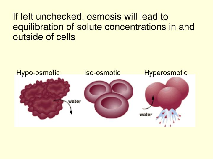 If left unchecked, osmosis will lead to equilibration of solute concentrations in and outside of cells