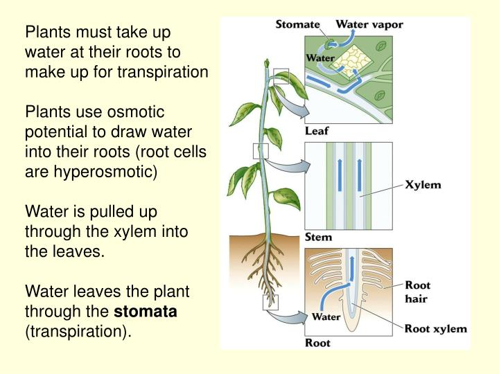 Plants must take up water at their roots to make up for transpiration