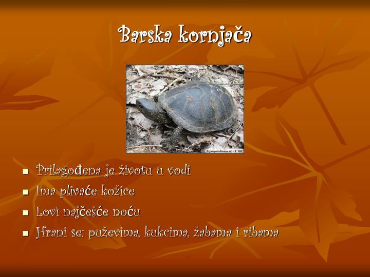 Barska kornjača
