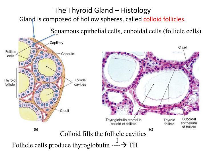 The Thyroid Gland – Histology