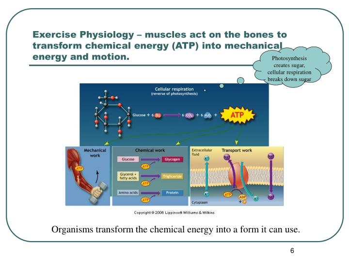 Exercise Physiology – muscles act on the bones to transform chemical energy (ATP) into mechanical energy and motion.