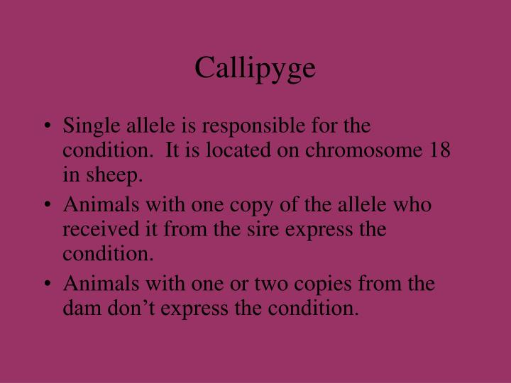 Callipyge