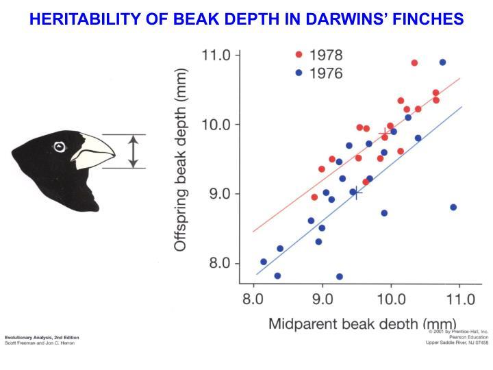 HERITABILITY OF BEAK DEPTH IN DARWINS' FINCHES
