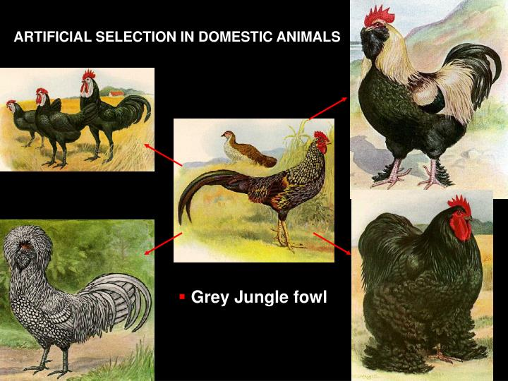 ARTIFICIAL SELECTION IN DOMESTIC ANIMALS