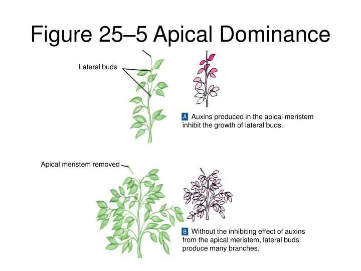 Figure 25–5 Apical Dominance
