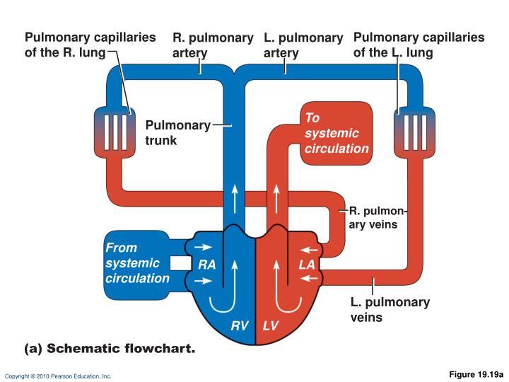 Pulmonary capillaries