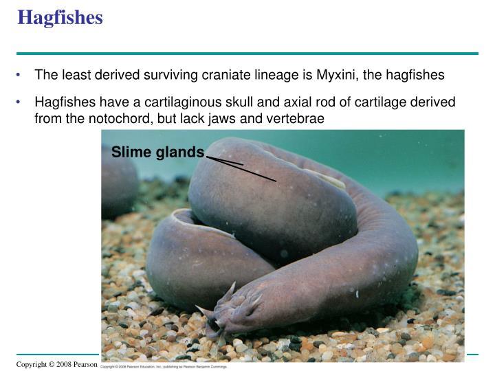 Hagfishes