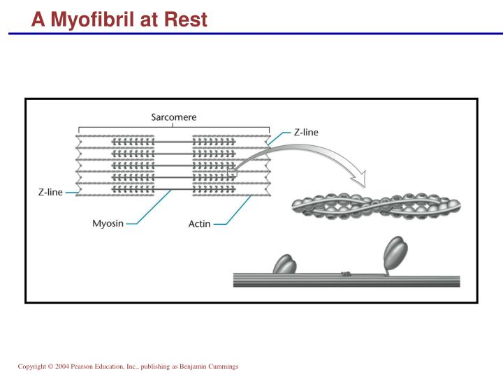 A Myofibril at Rest