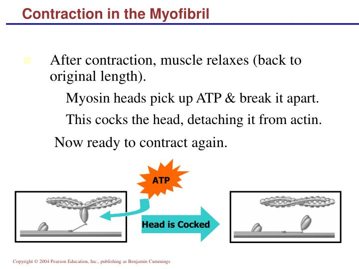 Contraction in the Myofibril