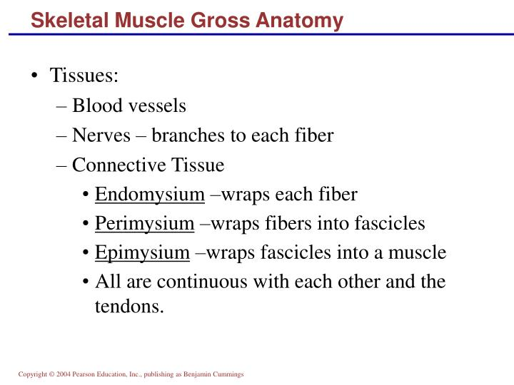 Skeletal Muscle Gross Anatomy