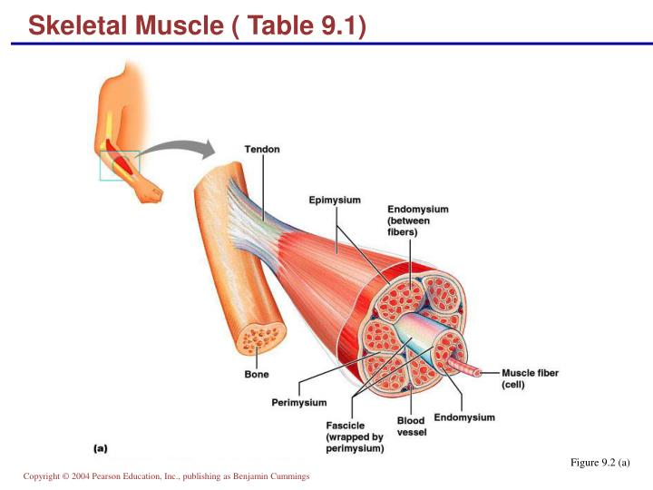 Skeletal Muscle ( Table 9.1)