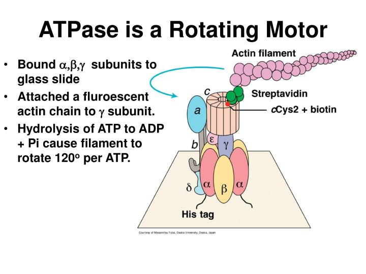 ATPase is a Rotating Motor