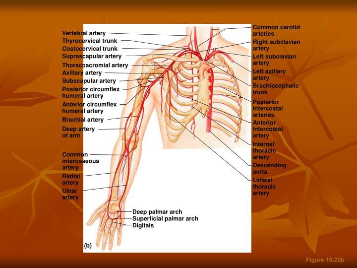 Common carotid