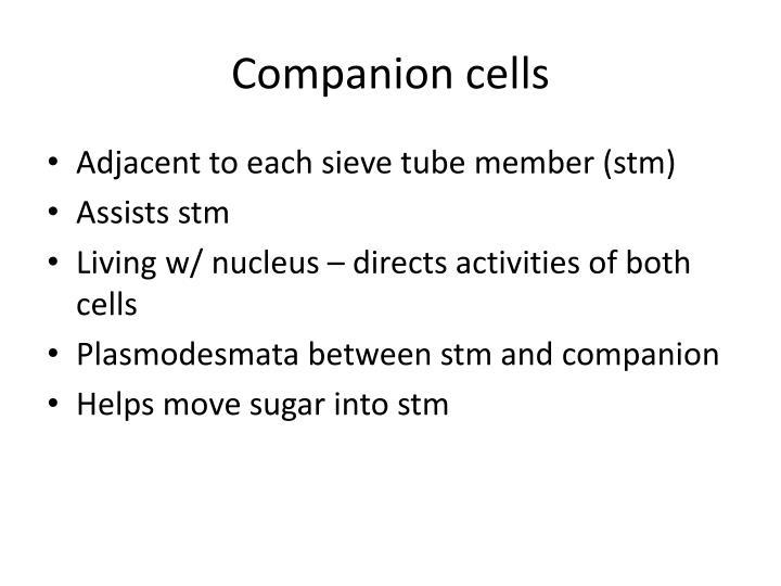 Companion cells