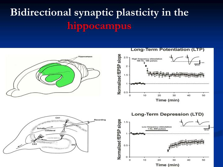 Bidirectional synaptic plasticity in the