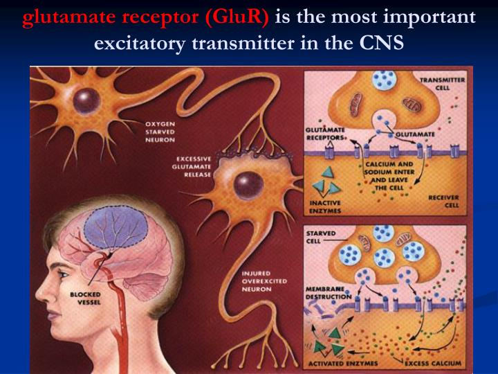 Glutamate receptor glur is the most important excitatory transmitter in the cns