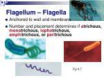 flagellum flagella