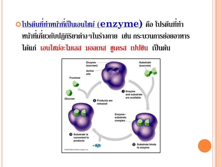 โปรตีนที่ทำหน้าที่เป็นเอนไซม์ (