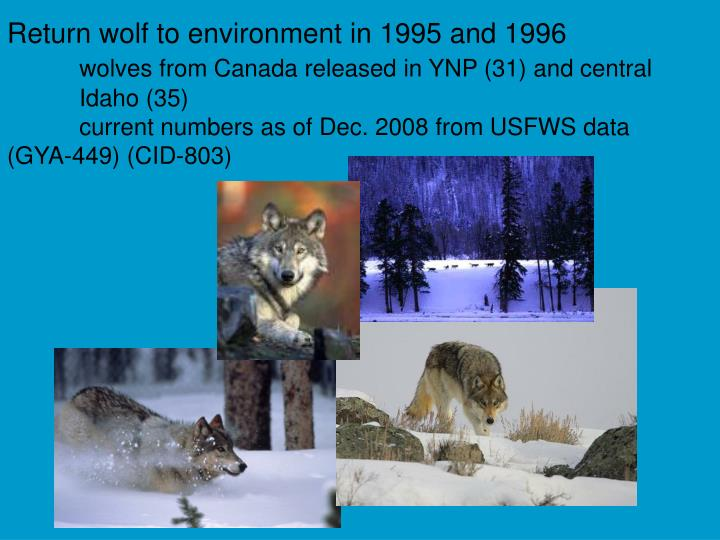 Return wolf to environment in 1995 and 1996