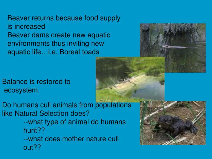Beaver returns because food supply is increased