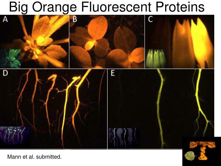 Big Orange Fluorescent Proteins