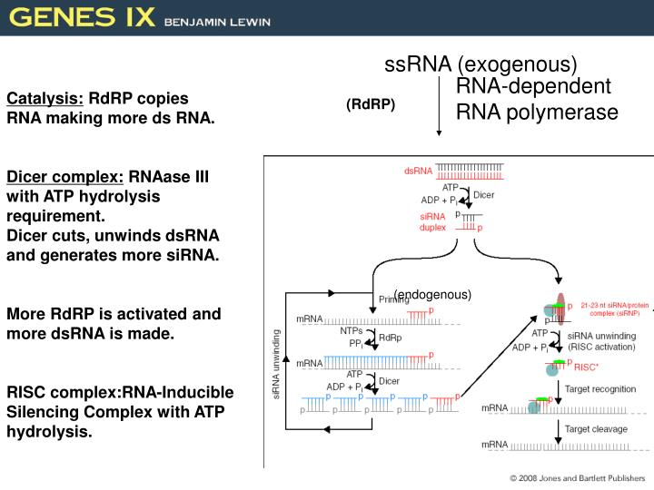 ssRNA (exogenous)