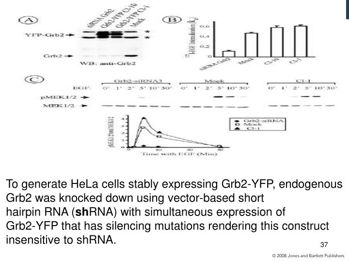 To generate HeLa cells stably expressing Grb2-YFP, endogenous