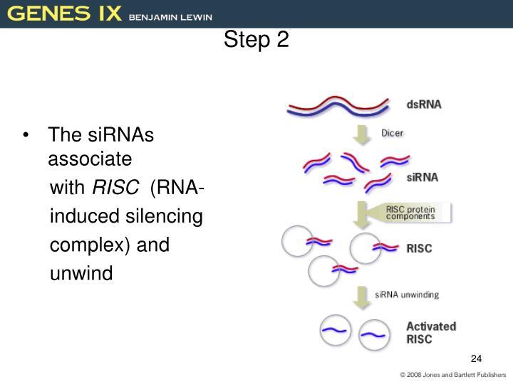The siRNAs associate