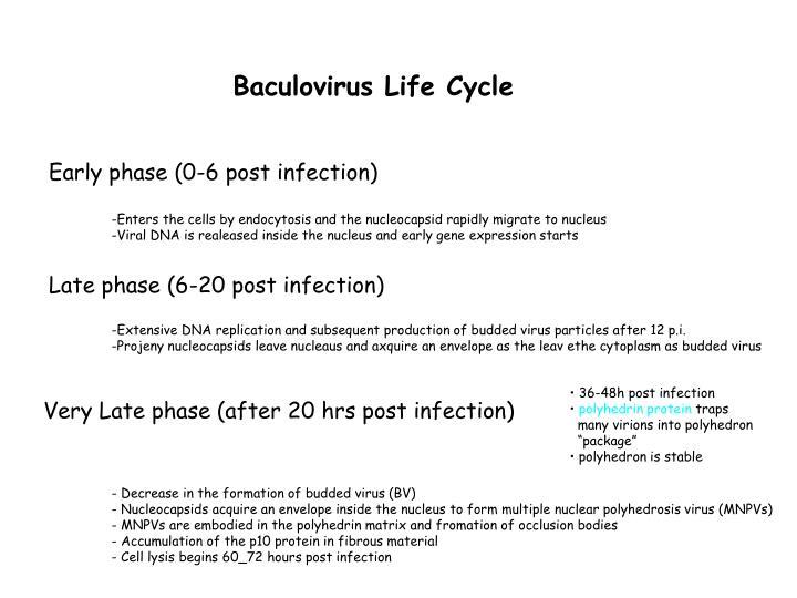 Baculovirus Life Cycle