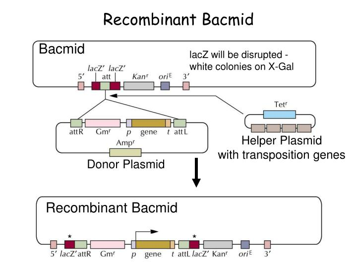 Recombinant Bacmid