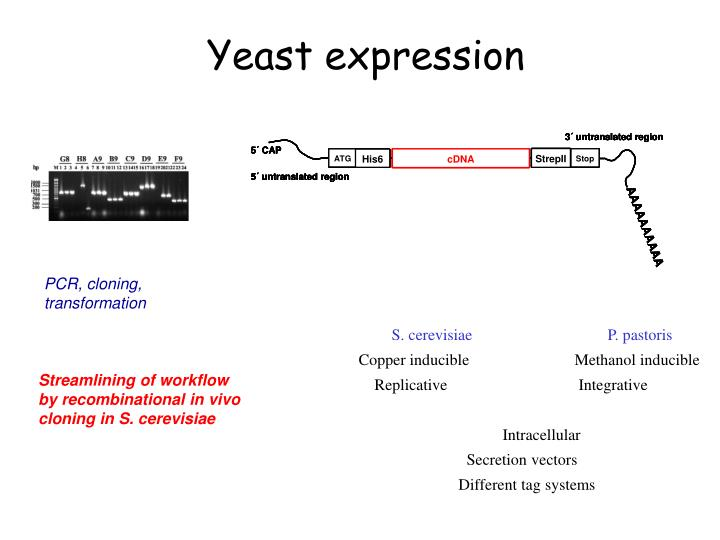 Yeast expression