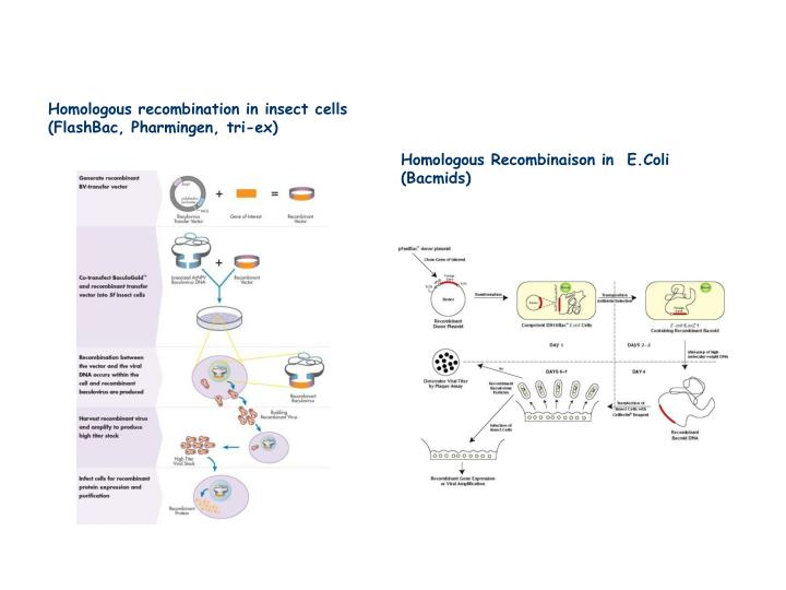 Homologous recombination in insect cells