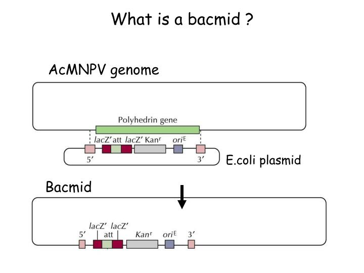 What is a bacmid ?
