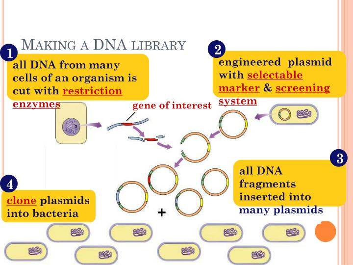 Making a DNA library