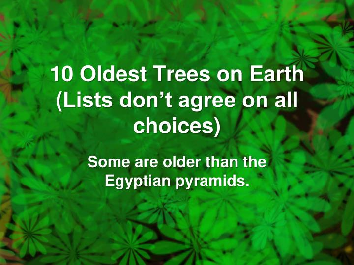 10 oldest trees on earth lists don t agree on all choices