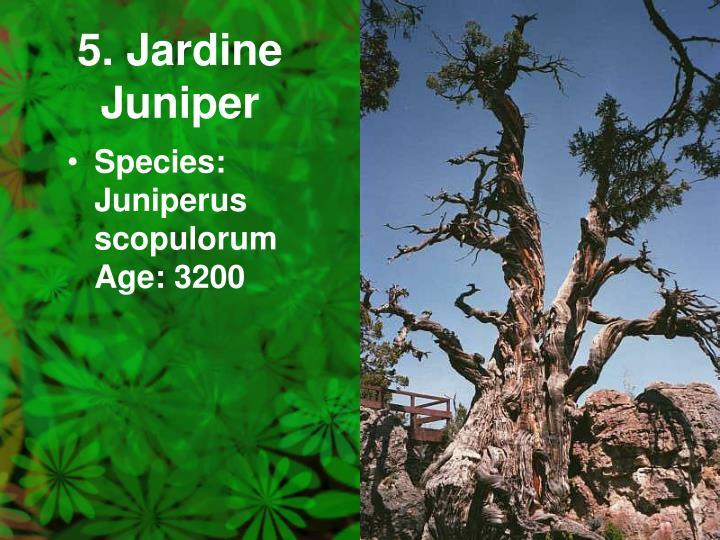 5. Jardine Juniper