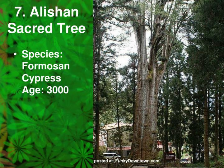 7. Alishan Sacred Tree