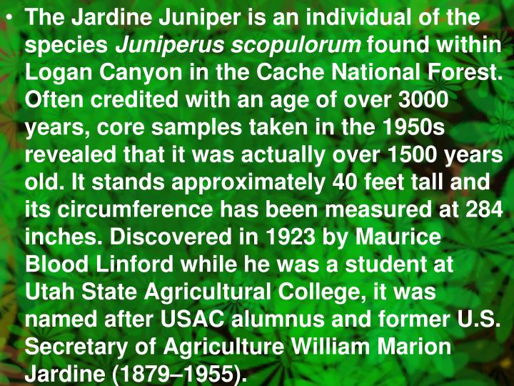 The Jardine Juniper is an individual of the species