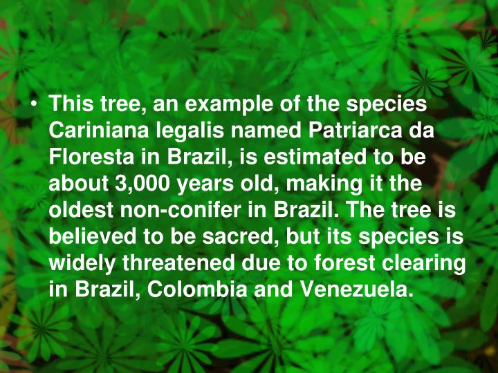 This tree, an example of the species Cariniana legalis named Patriarca da Floresta in Brazil, is estimated to be about 3,000 years old, making it the oldest non-conifer in Brazil. The tree is believed to be sacred, but its species is widely threatened due to forest clearing in Brazil, Colombia and Venezuela.