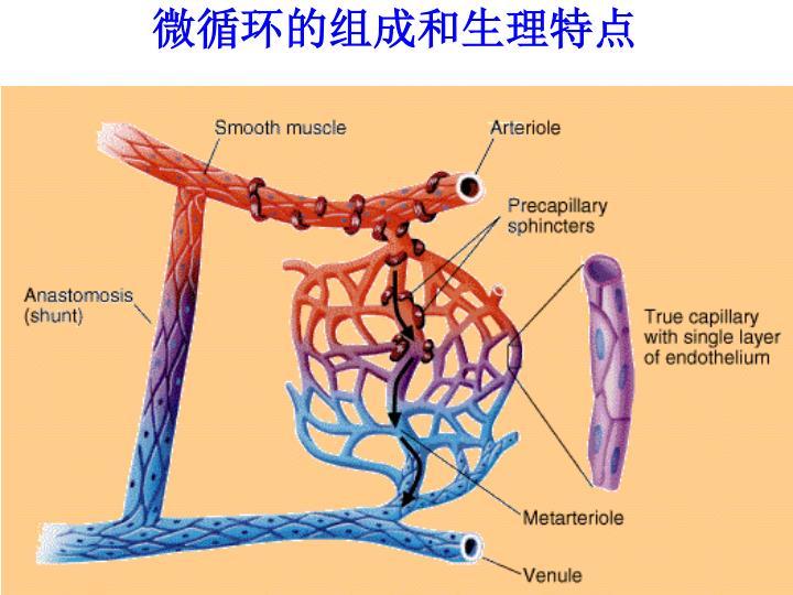 微循环的组成和生理特点