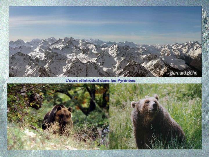 L'ours réintroduit dans les Pyrénées
