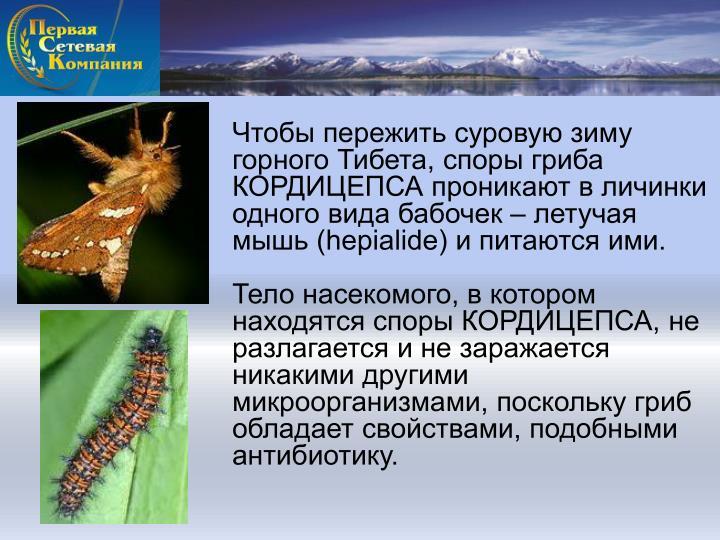 Чтобы пережить суровую зиму горного Тибета, споры гриба КОРДИЦЕПСА проникают в личинки одного вида бабочек