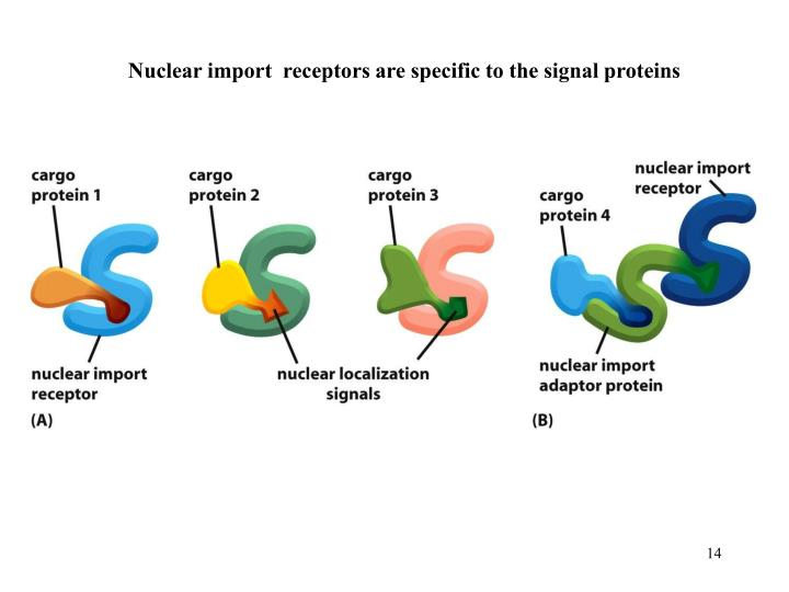 Nuclear import  receptors are specific to the signal proteins