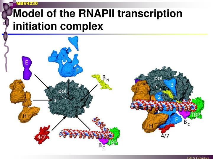 Model of the RNAPII transcription initiation complex