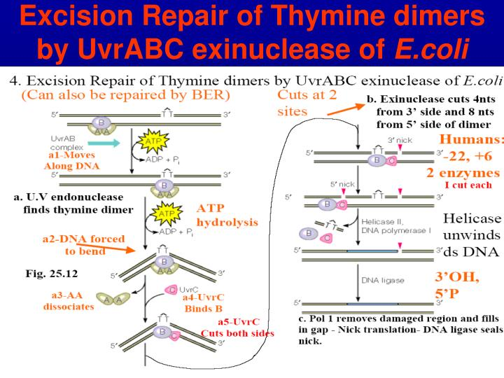 Excision Repair of Thymine dimers by UvrABC exinuclease of
