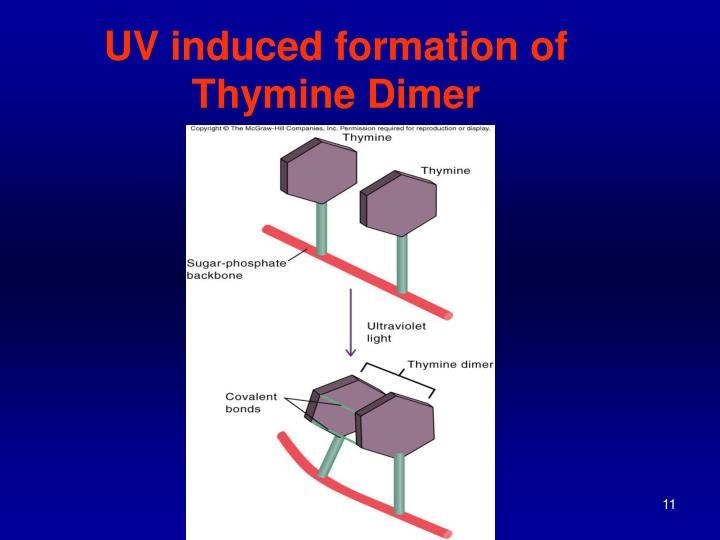 UV induced formation of Thymine Dimer