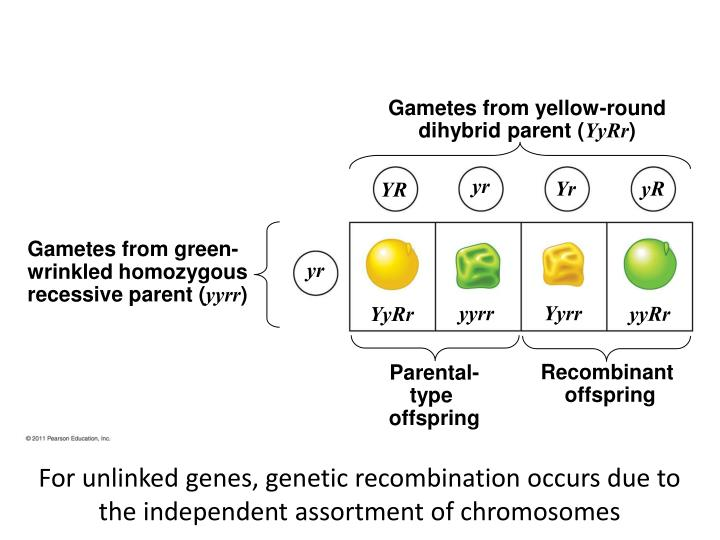 Gametes from yellow-round